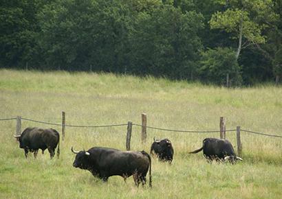 Visite d'un élevage de taureaux dans le gers